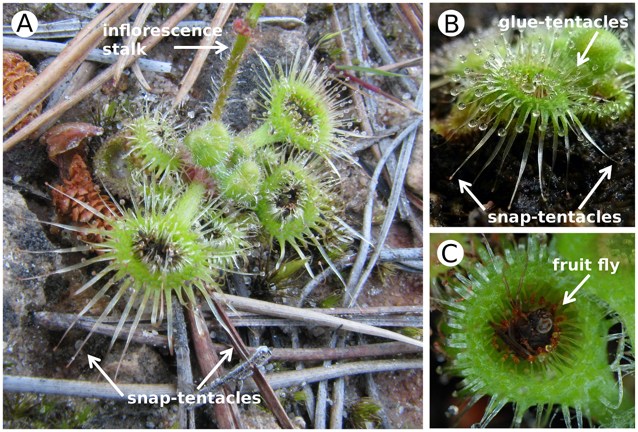 Drosera glanduligera, showing glue-tentacle and snap-tentacles. Image Credit: Poppinga et al. (CC BY)