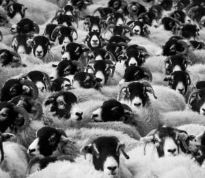 Flock of Sheep by Petr Kratochvil