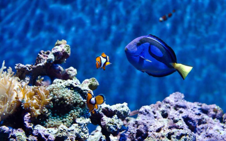 clown fish blue tang