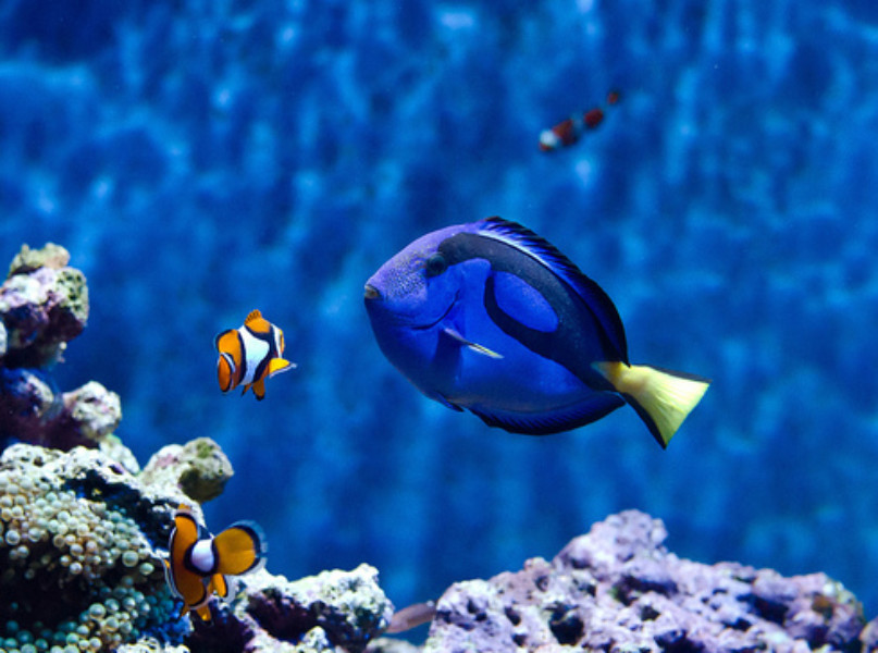 Of animation and conservation thegist the glasgow for Blue clown fish