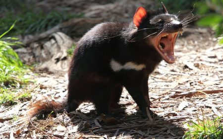 By Chen Wu (originally posted to Flickr as 袋獾 Tasmanian Devil) [CC BY 2.0 (http://creativecommons.org/licenses/by/2.0)], via Wikimedia Commons