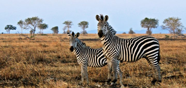 Zebras, not horses: The genetic disease that can't be